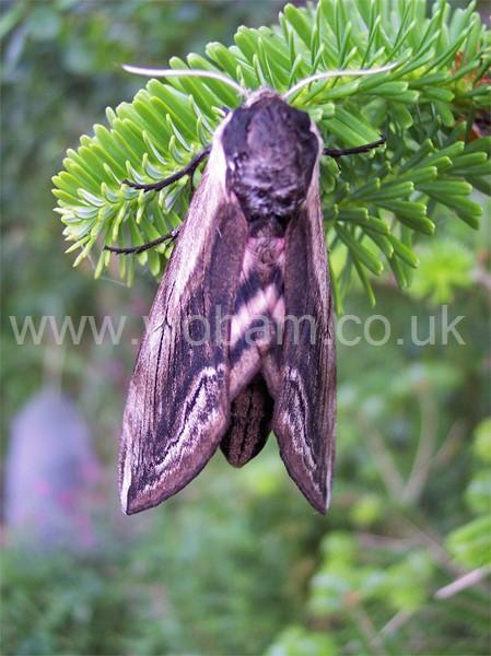 Privet hawk moth - photo#24